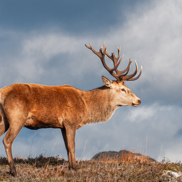 """""""Red Deer Stag"""" stock image"""