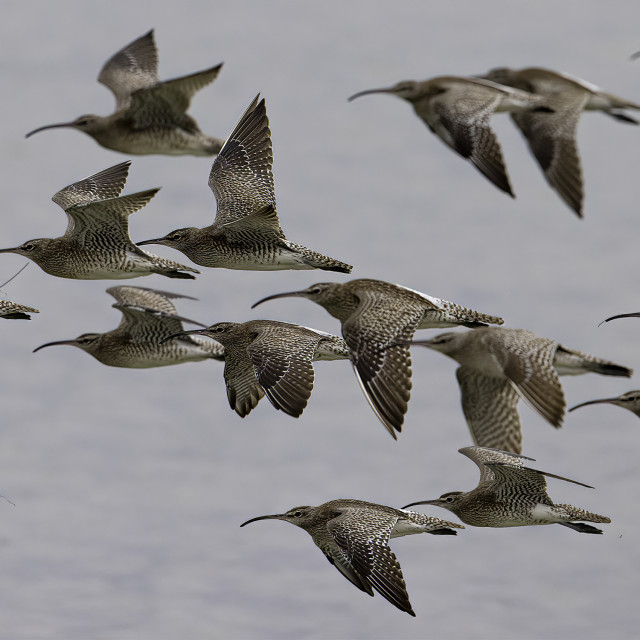 """""""Flock of Whimbrels in flight"""" stock image"""