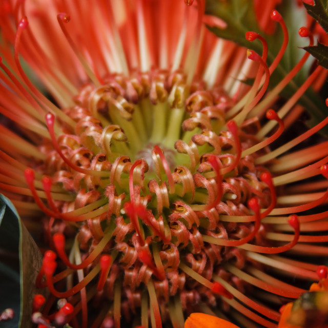 """Red Protea"" stock image"