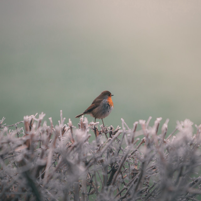 """""""Robin on a Frosty Hedgerow"""" stock image"""