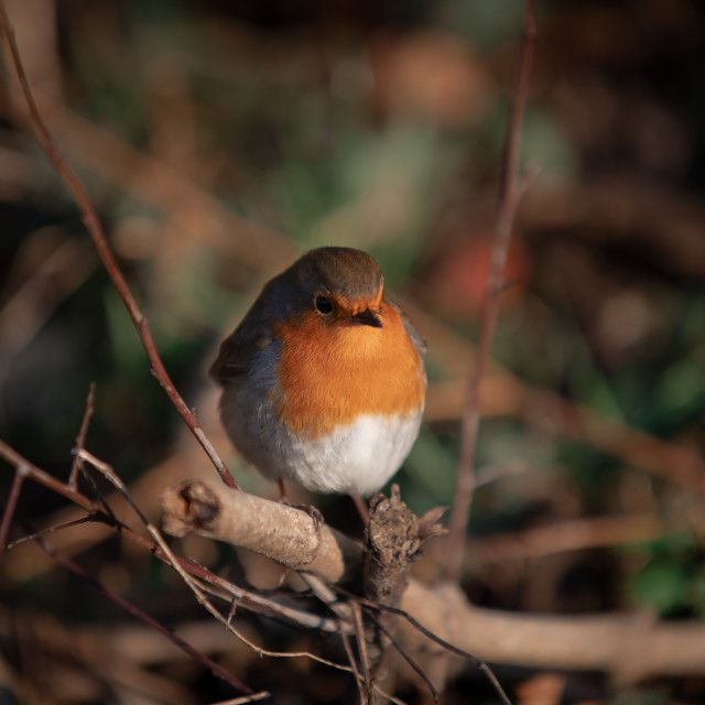 """""""Christmas Robin Perched in a Hedgerow"""" stock image"""