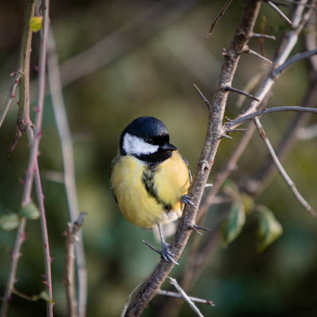 """""""Blue Tit on a Branch"""" stock image"""