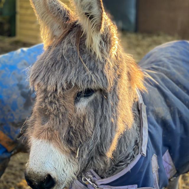 """""""Backlit donkey"""" stock image"""