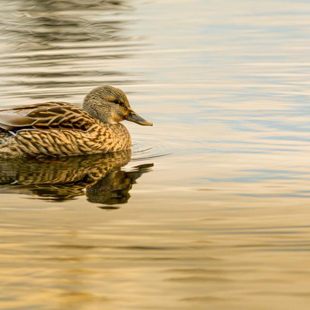 """Peaceful Female Mallard Duck"" stock image"