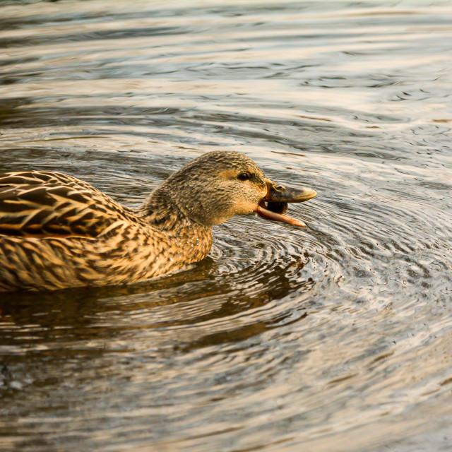 """Female Mallard Duck"" stock image"