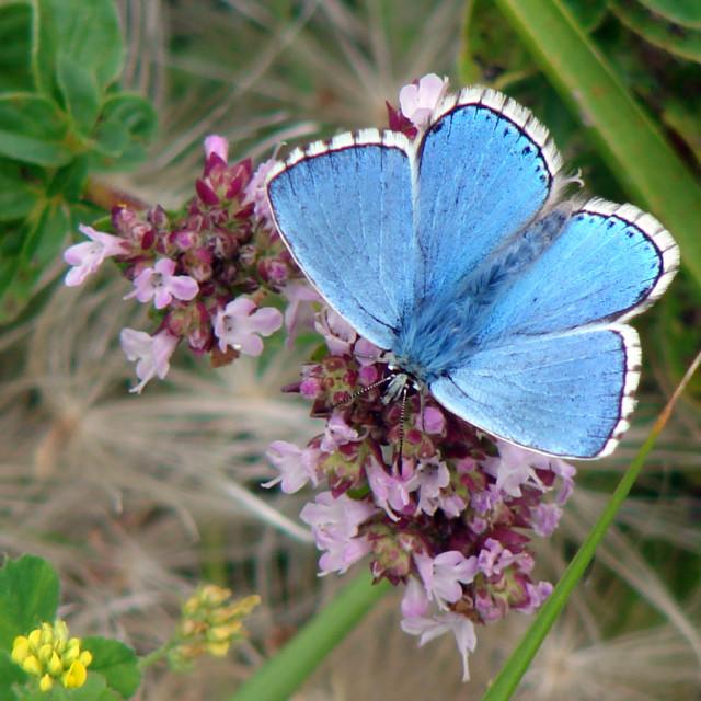 """Adonis Blue Butterfly, Dorset, England: UK Wildlife"" stock image"