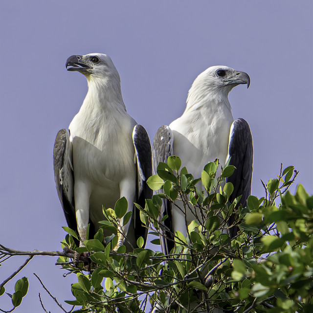 """""""A pair of white bellied sea eagle perching"""" stock image"""