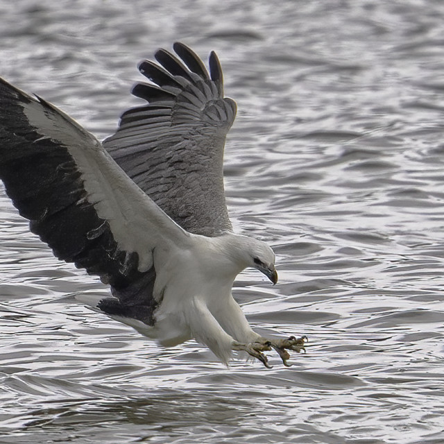 """""""White bellied sea eagle diving"""" stock image"""