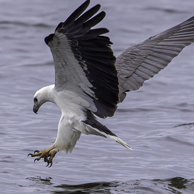 """""""White bellied sea eagle diving shot"""" stock image"""