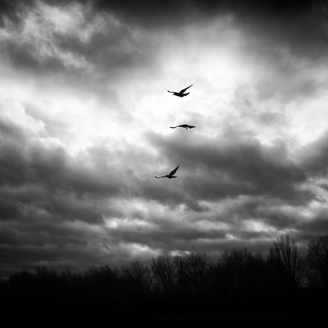 """Crows in Flight"" stock image"