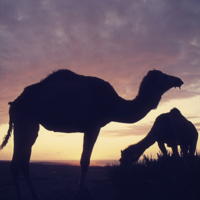 """""""Camel silhouettes"""" stock image"""