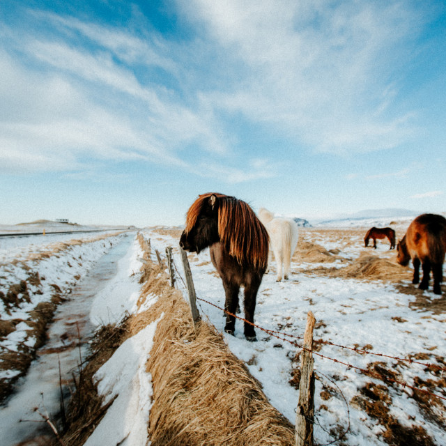 """""""Iceland Horse"""" stock image"""