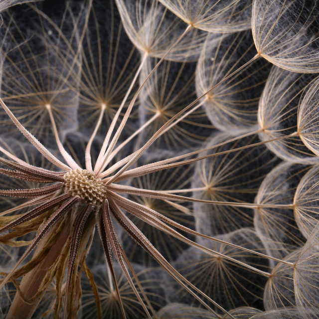 """A large dandelion with weed seeds on a black background"" stock image"
