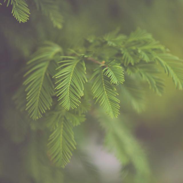 """Evergreen"" stock image"