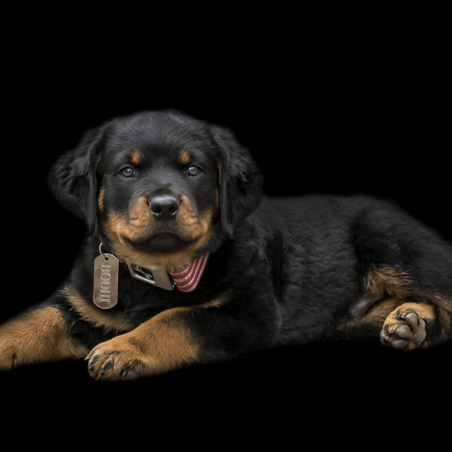 """Rottweiler Puppy"" stock image"