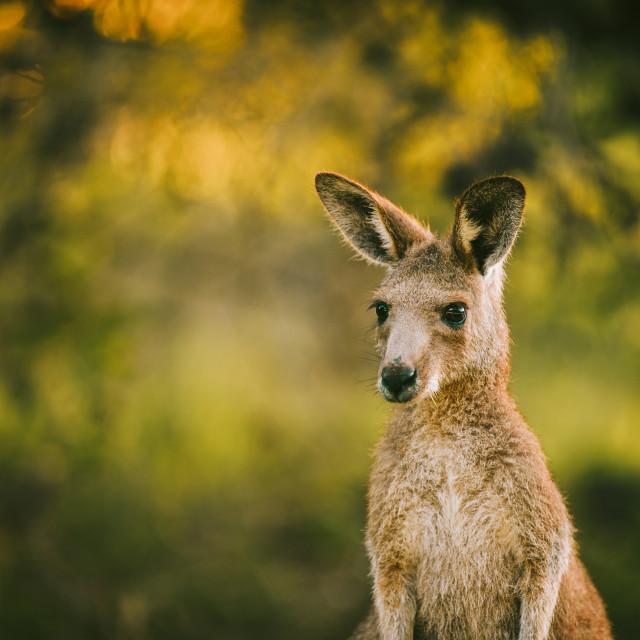 """Kangaroo Way 0307"" stock image"