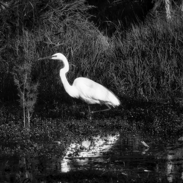 """""""Great White Egret, at Water's Edge"""" stock image"""