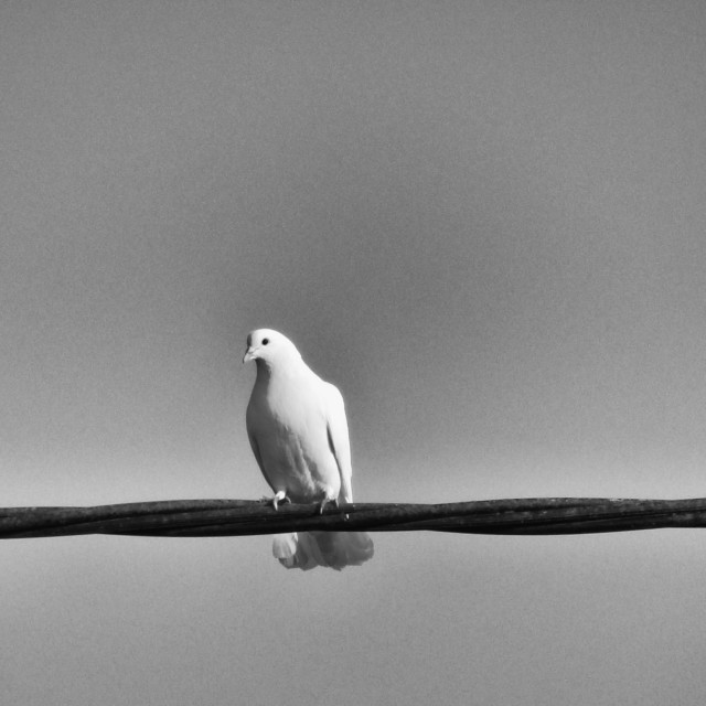 """Bird on a Wire - White Dove Monochrome"" stock image"