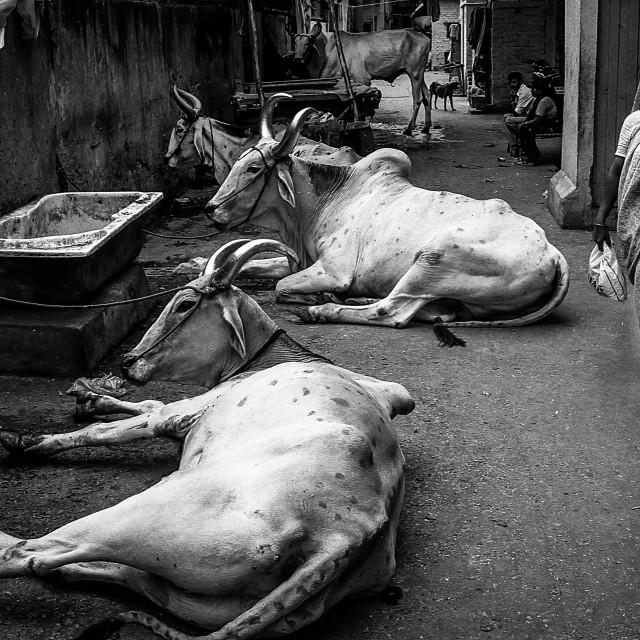 """Holy Cows, N.Delhi, India"" stock image"