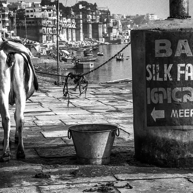 """""""Holy Cow, Varanasi, India"""" stock image"""