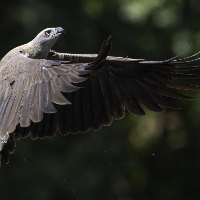 """Grey headed fish eagle in flight"" stock image"