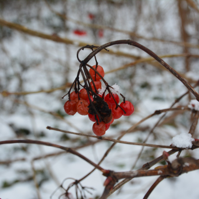 """Berries in the snow"" stock image"