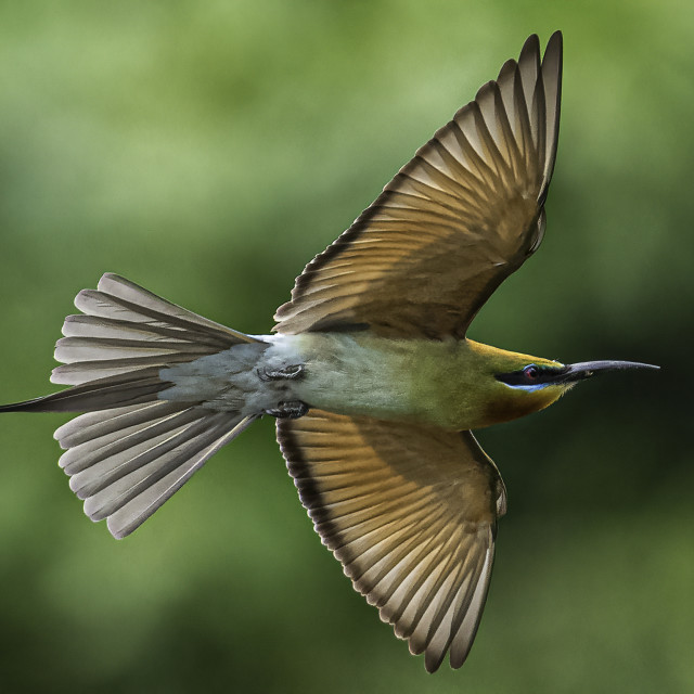 """""""Blue tailed bee eater in flight"""" stock image"""
