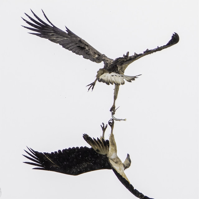 """""""Eagles fighting over a fish!"""" stock image"""