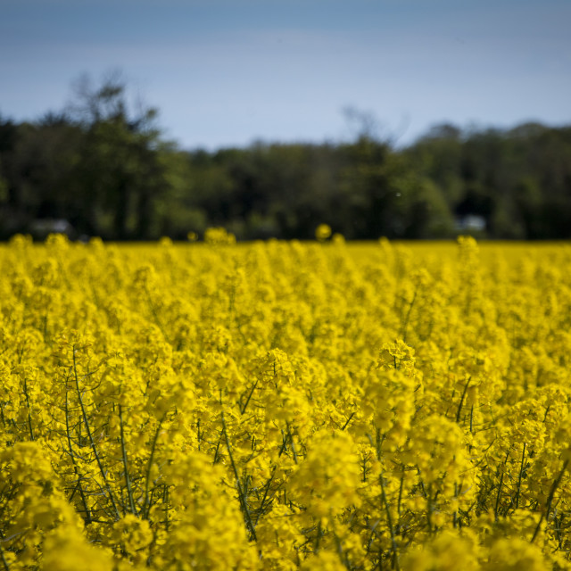 """Field of Gold"" stock image"