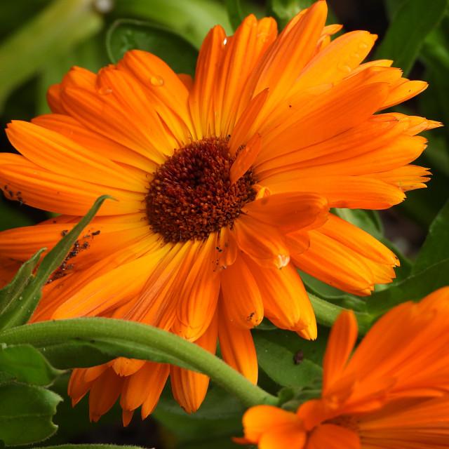 """Orange Daisy"" stock image"