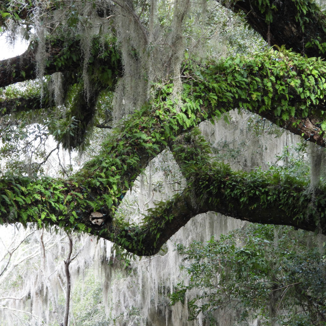 """""""Ivy-covered, Moss-draped tree"""" stock image"""