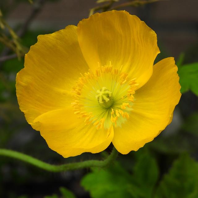 """""""Yellow Icelandic Poppy"""" stock image"""