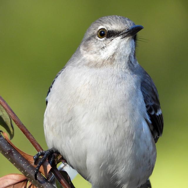 """Mockingbird Perched"" stock image"