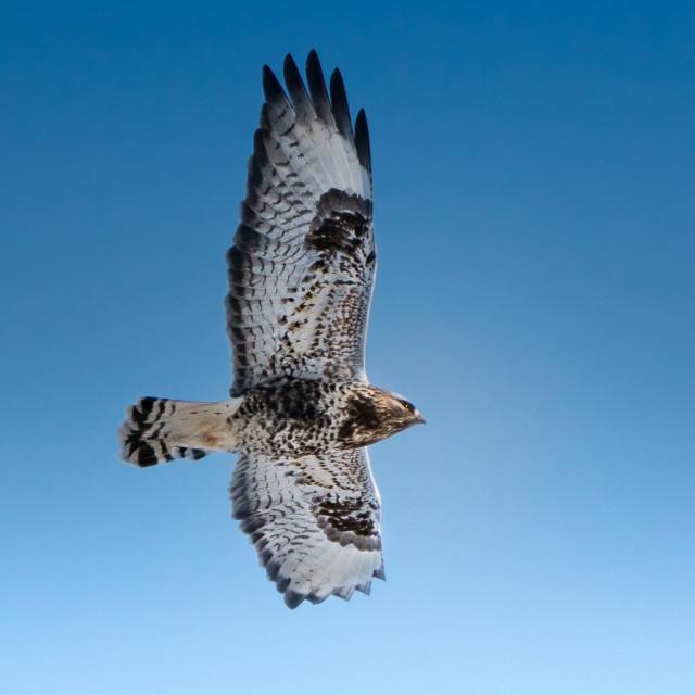 """The common buzzard"" stock image"