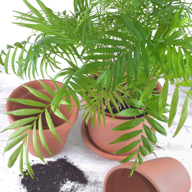"""""""green houseplant in a plastic pot next to terra cotta pots on a table"""" stock image"""