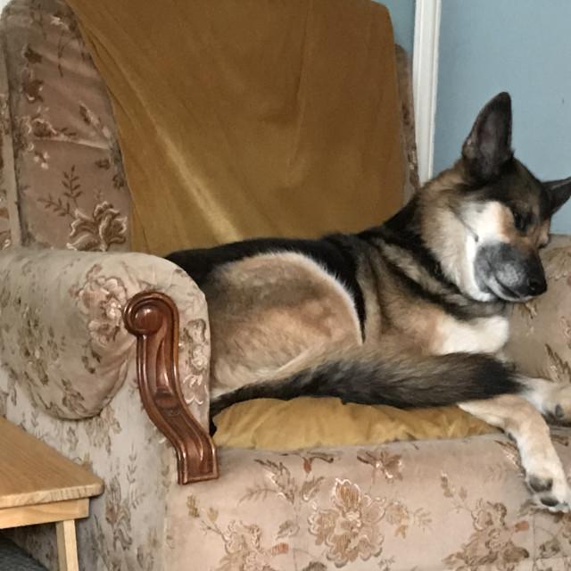 """""""Dog napping 2020 Middleton Satffordshire"""" stock image"""