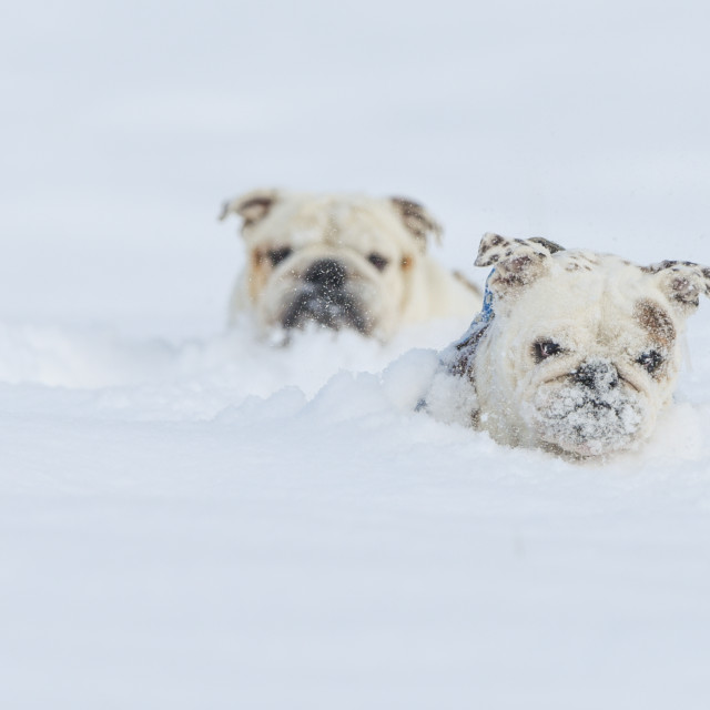 """""""Two isolated bulldogs running through the snow on a cold winter day"""" stock image"""