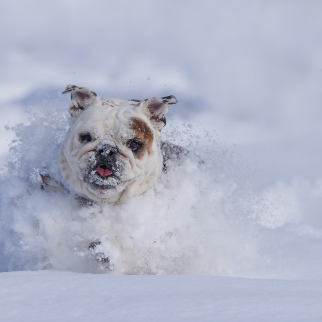 """""""Isolated bulldog running through the snow on a cold winter day"""" stock image"""