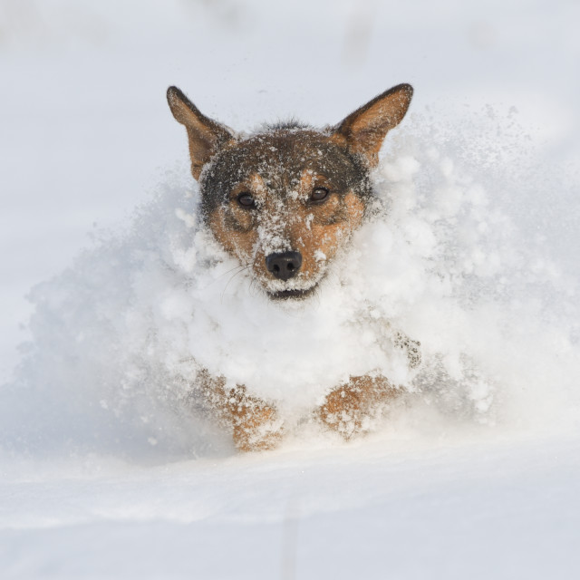 """""""Isolated dog running through the snow on a cold winter day"""" stock image"""