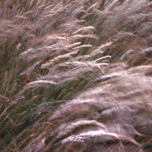 """Waving grasses"" stock image"