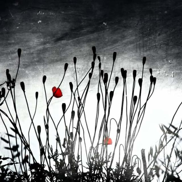 """""""Poppies."""" stock image"""