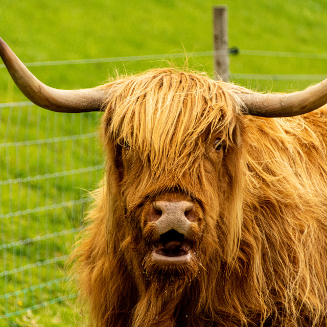 """""""Culloden Coo"""" stock image"""