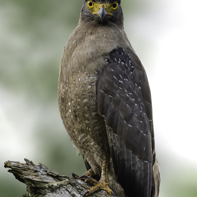 """""""Crested Serpent Eagle"""" stock image"""