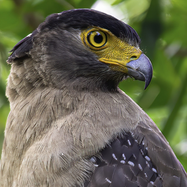 """Crested Serpent Eagle Headshot"" stock image"