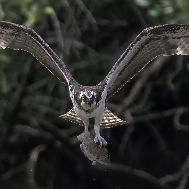 """""""Osprey caught a fish"""" stock image"""