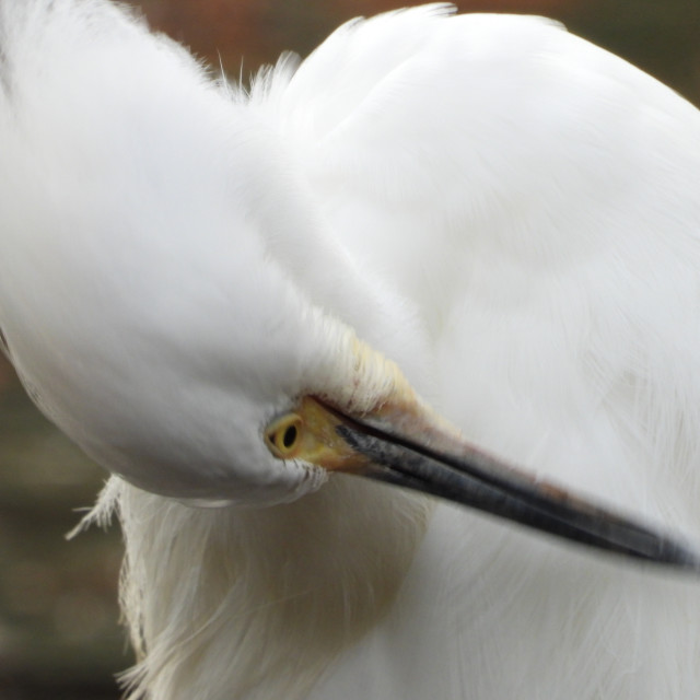 """Preening Egret"" stock image"