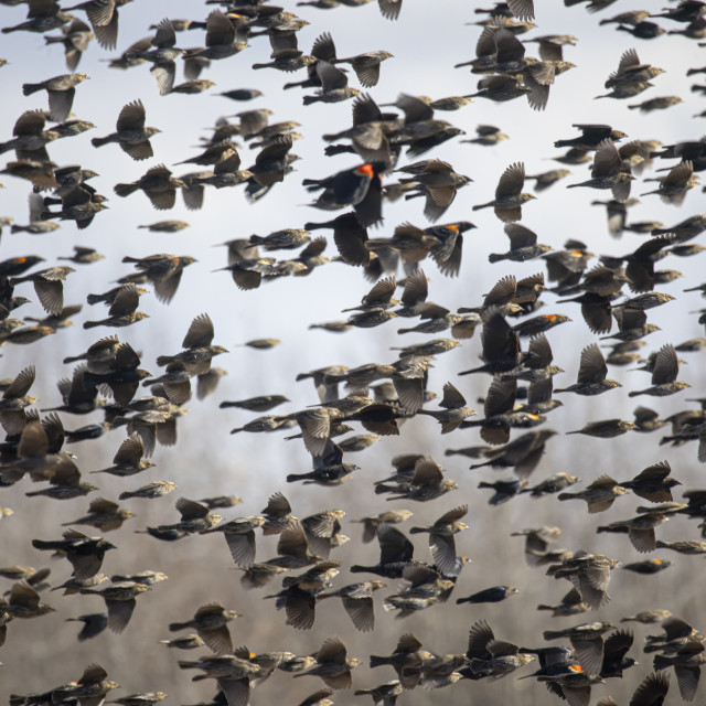 """The Flock"" stock image"