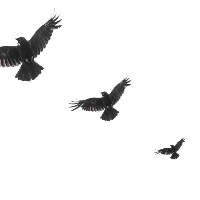 """""""Three isolated raven silhouettes in flight with fully open wings on white background"""" stock image"""