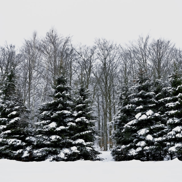 """""""Snowy hills and woods"""" stock image"""