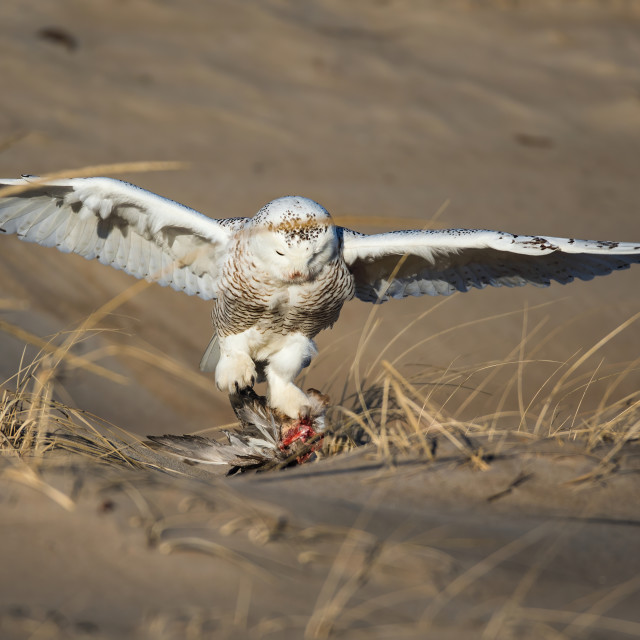 """""""Snowy owl with a kill"""" stock image"""
